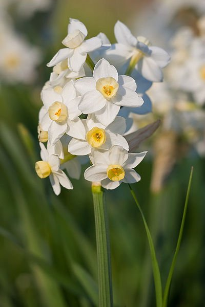Fragrant narcissus or jonquils look lovely paired with blue Siberian squill
