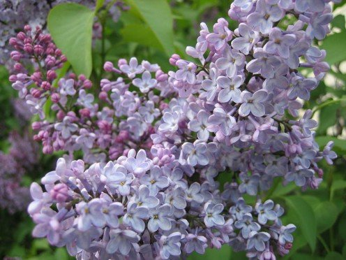Lilac - an old favorite.