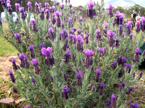 Just one of the lavender varieties, with scented leaves and flowers.