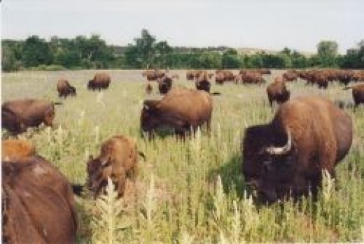 Bison on the Pine Ridge Indian Reservation