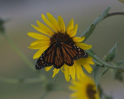 Monarch Butterfly on Sunflower