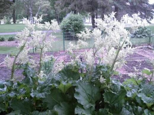 White Rhubarb Blossoms - My Rhubarb Patch