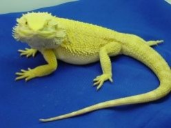 Bearded Dragons What You Need To Know