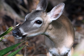 Key deer   (Photo by Cheryl Rogers)