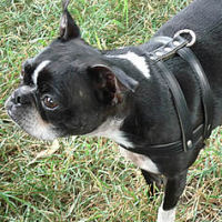 H-style Harness on Ceilidh (Boston Terrier).