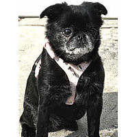 Golly (Brussels Griffon) in the Spiked Harness