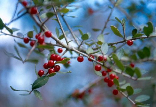 Native yaupon holly is another good native berry that adds color to a wreath.