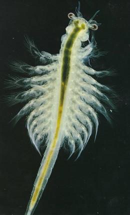 Brine Shrimp Picture