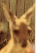 Ooroo the Kangaroo