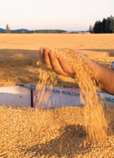 Wheat in one hand