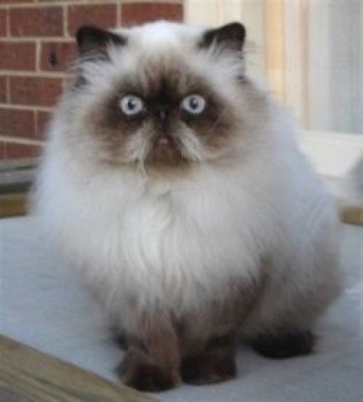 Himalayan Persian cat