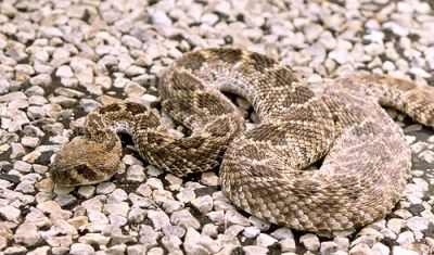 Western Diamondback Rattlesnake Texas (courtesy Flickr)