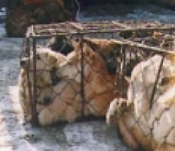 Dogs in China : A Horrific Story of Senseless Cruelty in the Dog Meat Industry