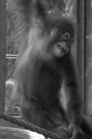 Orangutan photo taken a Toronto Zoo - Canada.
