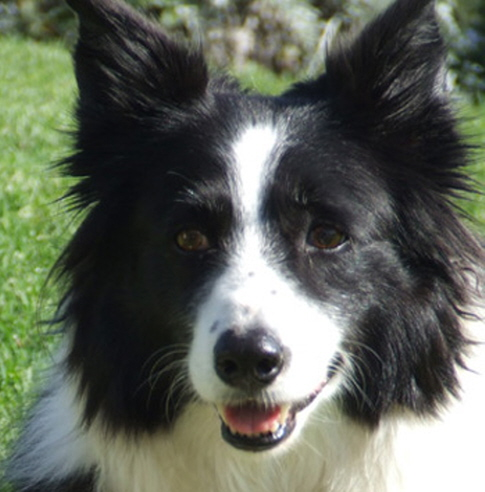 Dogs with canine diabetes usually develop cataracts within a year.