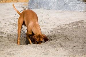 Dog Digging for Gophers