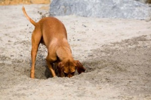 Dog Digging for Gophers