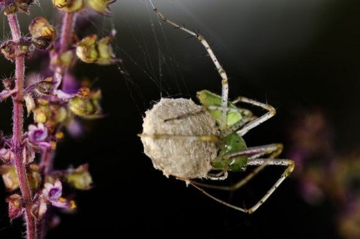 Green Lynx Spider with eggsac