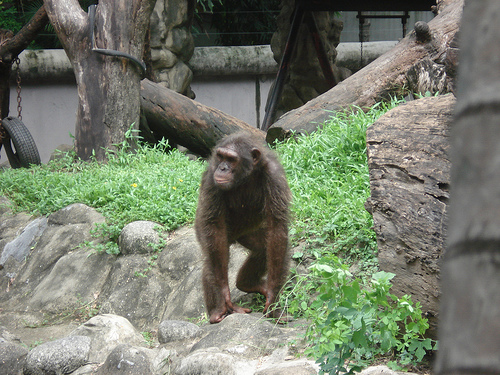 One of the Chimpanzees