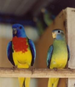 Smallparrots -scarlets -weiros