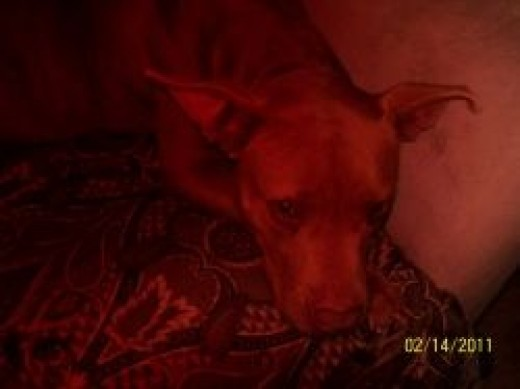 Xena: Warrior Princess Pit Bull Dog