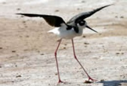A stilt bird happily stretches in the safety of his sandy sunny Refuge.