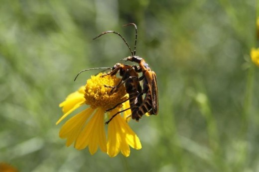 Goldenrod Solider Beetles Mating.  Photo by Teddy Fotiou (Me).