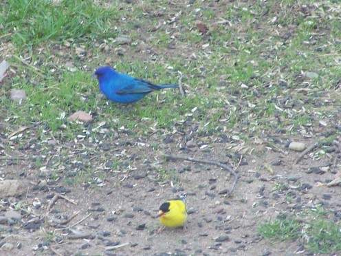 Indigo Bunting & Gold Finch