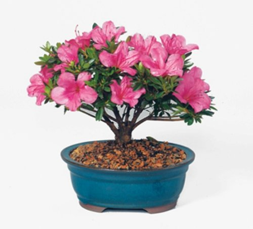 "This is an azalea bonsai. Azaleas mean ""take care of yourself for me"""