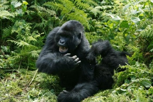 Gorillas - most famous of all the Rwandan wildlife