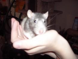 My Beloved Pet Rat Blue, Passed Away Last Year.