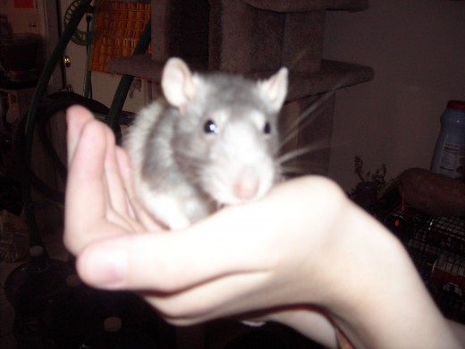 My Beloved Pet Rat Blue, Passed Away Last Year.