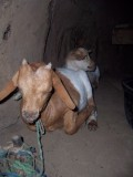 Goats are kept inside with the family at night to prevent them getting eaten by larger animals.