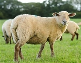 sheep farming for beginners