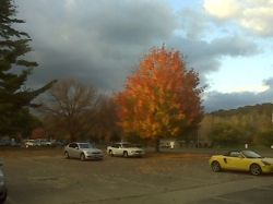 A gold tree in our work car park!