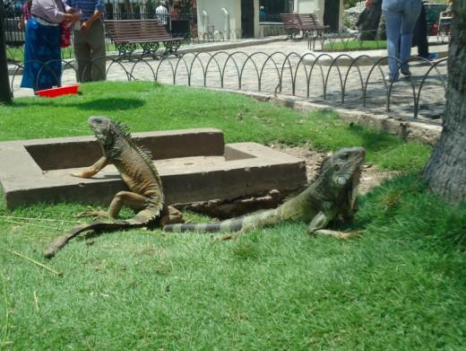Iguanas at the Park Simon Bolivar ( also called the Iguana Park)