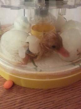 Little Ancona duck hatching.  Happy Birthday!!