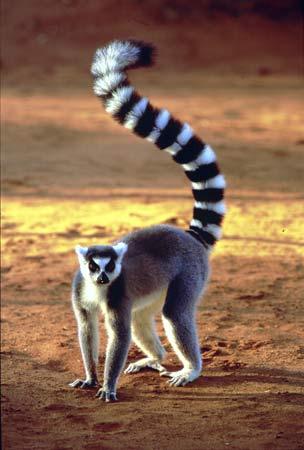 Modern Big Lemur