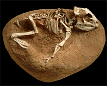 Another Fossil of an ancient creature