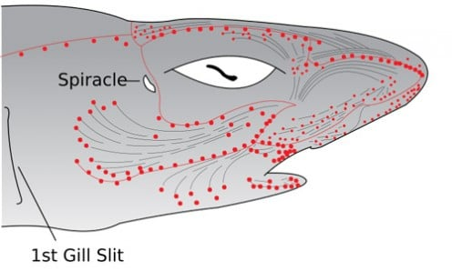 Electroreceptors in Shark's head. Image courtesy of Chris Huh