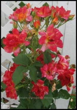 Momma's roses on her walkway trellis.  Climbing Josephs Coat