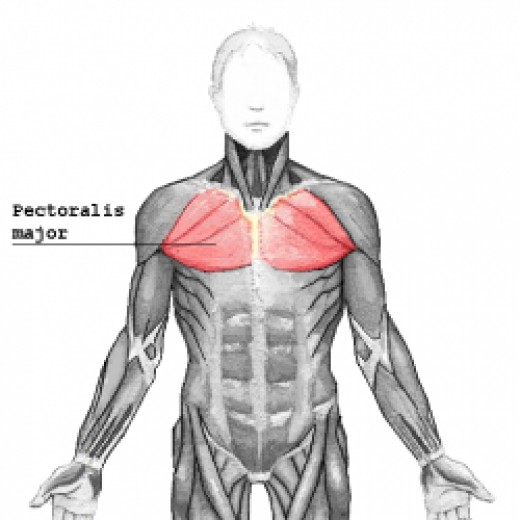 Pectoralis Major Muscle Used In Inclined Chest Press