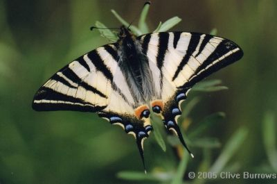 The Scarce Swallowtail