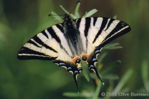 The Scarce Swallowtail