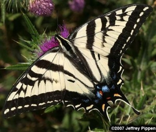 The Western Tiger Swallowtail