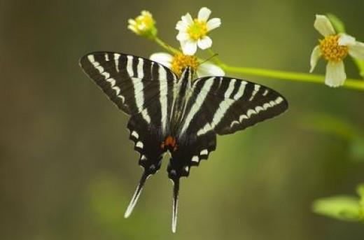 The Zebra Swallowtail