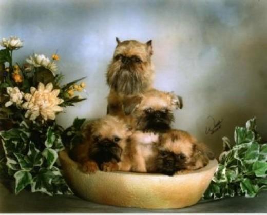 The Brussels Griffon Terrier