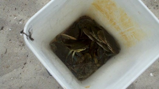 Chesapeake Crabs