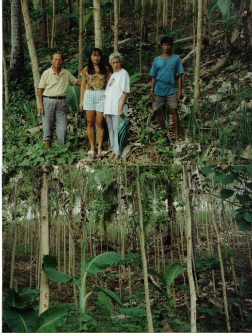 yamani trees