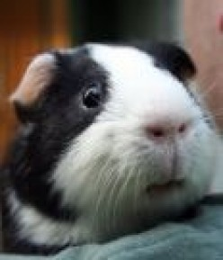 Preparing Your Home for a Guinea Pig